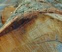 2013年4月份供应欧洲花旗松原木