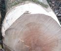 一批新伐的大直径产地是比利时水曲柳原木还没挑选同测量