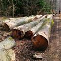 2015年4月份供应欧洲榉木(A)