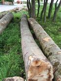 2015年上半年最后一批法国ABC锯材级榉木原木,优惠价:EUR 158/方