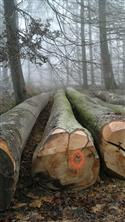 2017年4月供应A级欧洲卢森堡 旋切材新鲜砍伐榉木原木