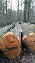 2017年12月供应卢森堡大径榉木原木,质量A级材木色纹理硬度优