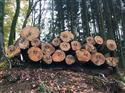 2017年11月22日供应旋切级法国榉木,质量优每月定量供应长期合作的老客户