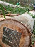 2017年2月新伐巴西剪枝桉木,可用于木皮,板材,家具制作,建筑材料