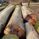 2015年4月份供应1000-5000方数量德国大直径榉木