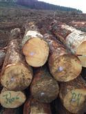 供应智利辐射松原木