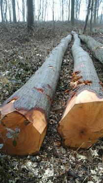 2018年4月供应法国红橡原木,长度2M以上
